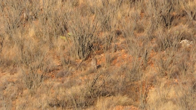 Coues deer doe feeding among ocotillo in early morning sun