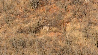Coues deer doe standing and watching among ocotillo in early morning sun