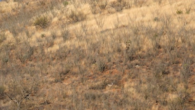 Coues deer doe and buck standing in ocotillo in early morning sun,well camouflaged
