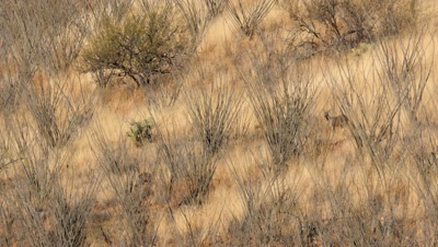 Coues deer doe and buck feeding in ocotillo and dry grass in early morning sun,well camouflaged