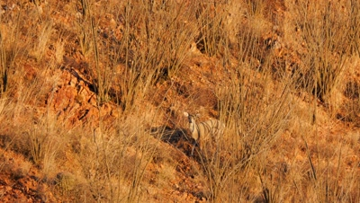 Coues deer buck in ocotillo and red rock,early morning sun.