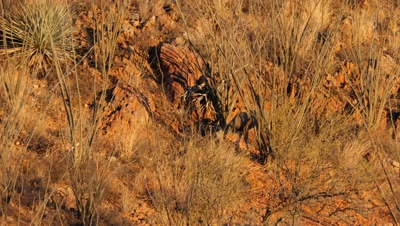 Coues deer buck feeding in ocotillo and red rock,early morning sun.