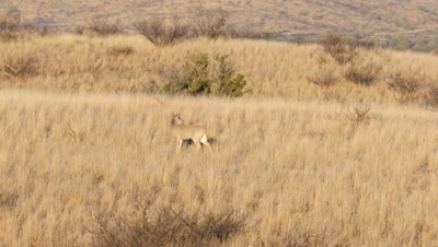 Coues deer buck chasing doe,doe enter and exits