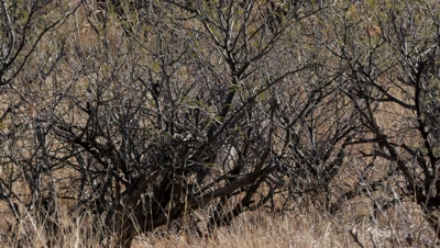 Coues deer young buck,spike,hidden in brush,moves away nervously