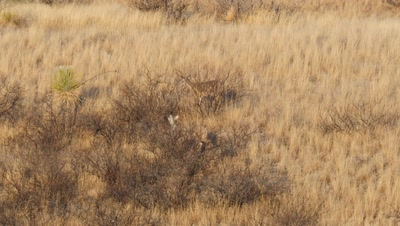 Coues deer doe and fawn feeding on Catclaw Acacia seed pods in early morning sun