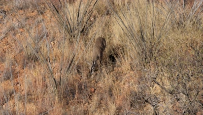Coues deer doe feeding and watching among ocotillo on rocky slope