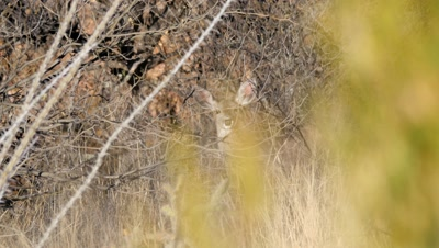 Coues deer doe watching from within brush