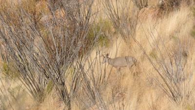 Coues deer buck and doe among dry grass and ocotillo,buck scratches