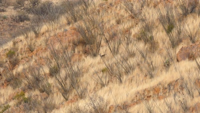 Coues deer buck among dry grass and ocotillo,wide shot