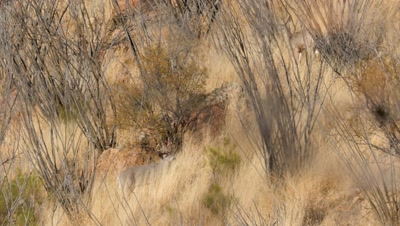Coues deer buck and doe among dry grass and ocotillo