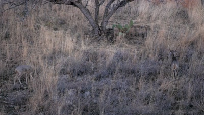 Coues deer doe with buck in attendance at dusk