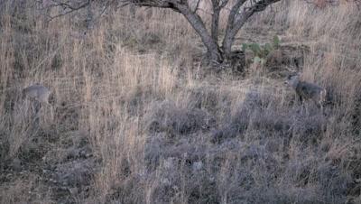Coues deer doe with buck in attendance at dusk,buck grooms
