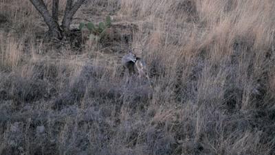 Coues deer buck at dusk grooming then looks