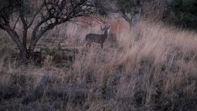 Coues deer buck rubbing face on low branch to apply scent