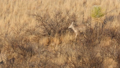 Coues deer doe feeding on Catclaw Acacia seed pods in early morning sun,turns to look