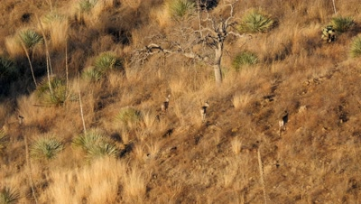 Coues deer does and young buck,spike,in early morning sun