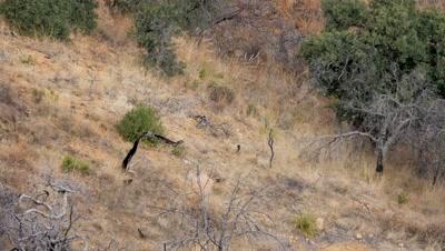 Coues deer large buck walking down through old burn