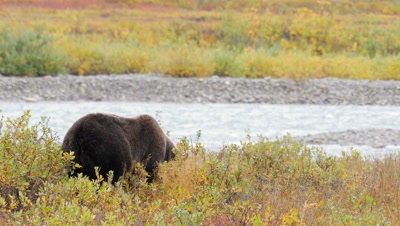 Grizzly bear mature male digging for ground squirrel. Fall colors.