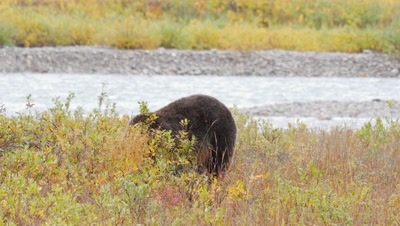 Grizzly bear mature male hunting digging for ground squirrel,misses. Fall colors.