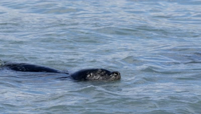 Harbor Seals among pink salmon