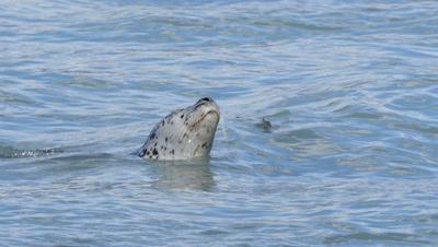 Harbor Seal among pink salmon