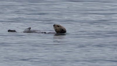 Sea Otter keeping clean by rolling while eating