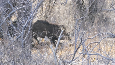 Collared Peccary,baby in tow heading out to feed after cold night. Light snow on the ground