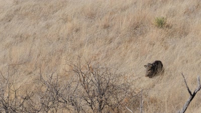 Collared Peccary juvenile running to catch up