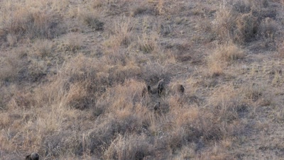 Collared Peccary small group foraging at dusk