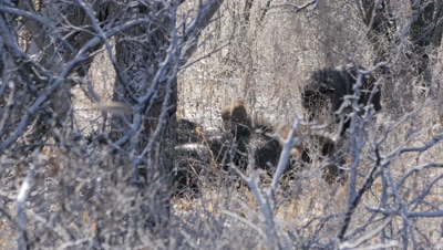 Collared Peccary herd huddled for warmth after cold night,baby on top