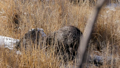 Collared Peccary foraging in the sun after light snow