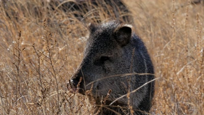 Collared Peccary testing for scent,exits