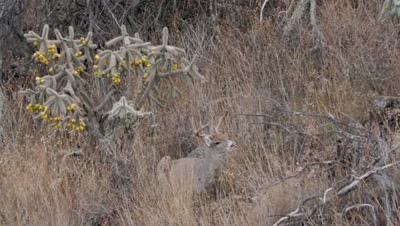 Coues deer large buck bedded next to cholla cactus watching doe