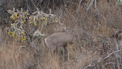 Coues deer large buck standing next to cholla cactus watching doe.
