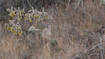 Coues deer large buck beds down next to cholla cactus
