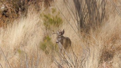 Coues deer buck in long grass and ocotillo hot day some heat haze