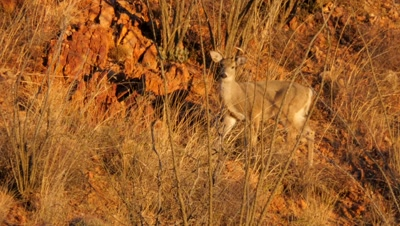 Coues deer buck feeding in ocotillo at sunrise