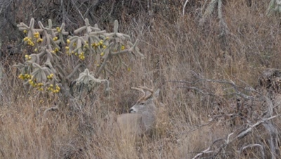Coues deer large buck bedded next to cholla cactus stands up to follow doe