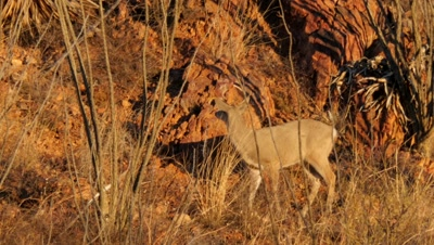 Coues deer buck in ocotillo at sunrise, exits