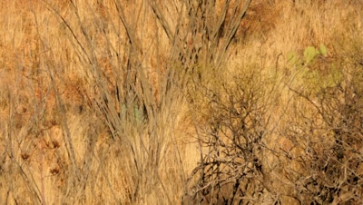 Coues deer buck walk through grass and ocotillo at sunrise, enters and exits