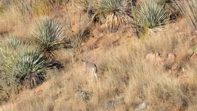 Coues deer spike buck walking among yucca, exits