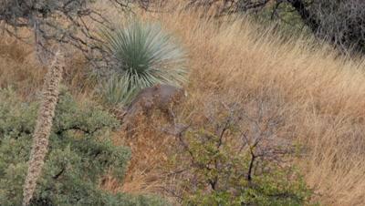Coues deer large buck feeding among yucca and oak