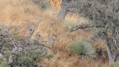 Coues deer large buck among yucca and oak