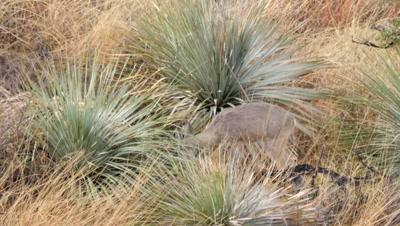 Coues deer doe feeding among yucca