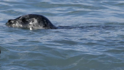 Harbor Seal with pink salmon in it's mouth, dives