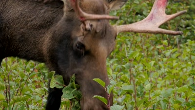 Moose young bull with nose full of porcupine quills feeding on alders