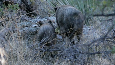 Collared Peccary feeding aggression between adult and juvenile