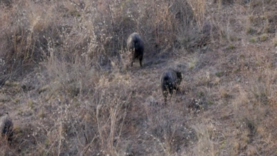 Collared Peccary kicking up dust as they dig for food