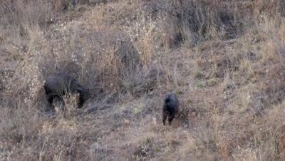 Collared Peccary kicking up dust as they dig for food in dry ground