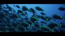Hundreds Of Orange Spine Unicorn Fish Aggregating Many Sharks Going Through Aggregation Hunting